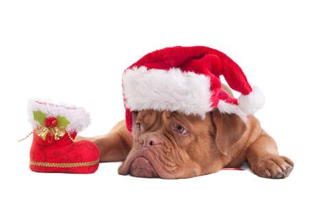 Dogo de Burdeos con sombrero de Navidad y decoraciones Foto de archivo - 8287858