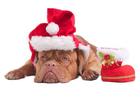 Dogue de bordeaux with Christmas hat and Christmas Boot photo