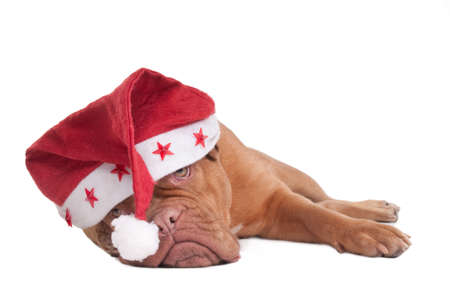 Dogue de bordeaux with Starry Christmas Hat photo