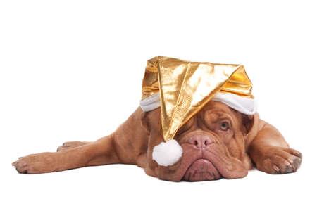 Dogue de bordeaux with golden Christmas hat photo