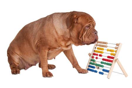 dogue: Big dogue de bordeaux counting