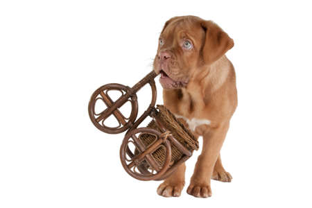 Puppy carrying a handicrafted bycicle photo