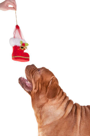 Big dog sniffing a Christmas boot decoration photo