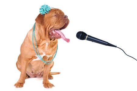 dogue de bordeaux: Big Dog of Dogue De Bordeaux Singing out Loud Stock Photo