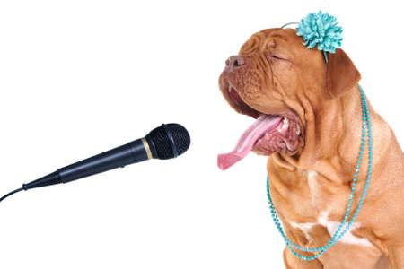 ballad: Singing Big Dog Portrait Close-Up Stock Photo
