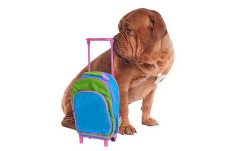 Big dogue de bordeaux is ready to go on a trip photo
