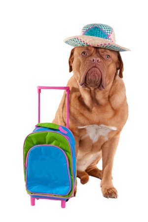 Cute dogue de bordeaux is ready to go on summer holiday photo