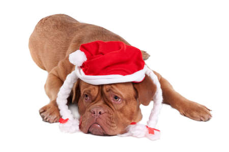 Dogue de bordeaux with Snowwhites hat looking aside photo