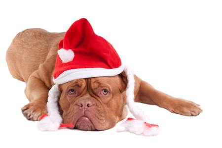Dogue de bordeaux with Snowwhites hat photo