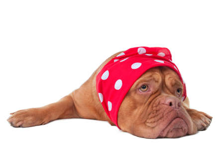 Dogue de bordeaux with fancy red scard with white dots on its head Stock Photo - 8344878