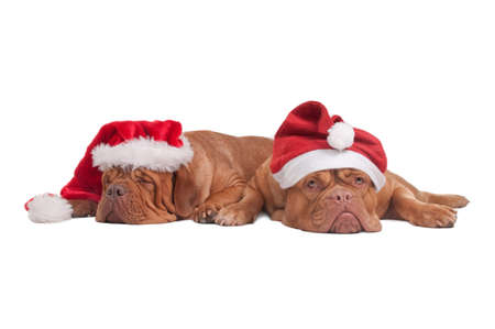 fedup: Two dogs with Christmas Hats waiting for Santa Stock Photo