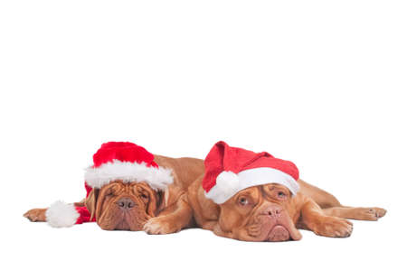 Two dogs with Christmas Hats waiting for Santa photo