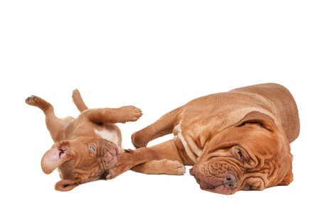 dogue de bordeaux: Puppy playing with its mom
