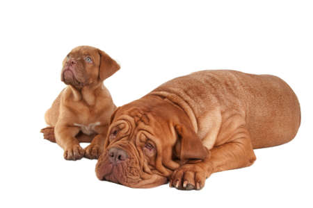 Puppy and big dogue de bordeaux on white background photo