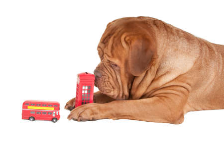 Big dogue de bordeaux with toys simbols of London Stock Photo - 8344883