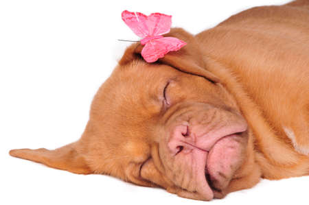 Puppy of dogue de bordeaux asleep with pink butterfly on its ear photo