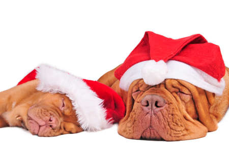 Puppy of dogue de bordeaux and its mom waiting for Christmas photo