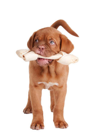 dog bone: Puppy of dogue de bordeaux with a  Rawhide bone in its mouth Stock Photo