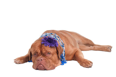 Dogue De Bordeaux with jewellery  on its neck photo