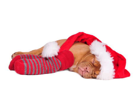 Adorable puppy of dogue de bordeaux dressed as Santa, sleeping photo