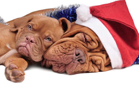 bordeaux mastiff: Puppy and its mom in Christmas decorations