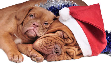 bordeaux mastiff: Puppy lying on its mom, both waiting for Christmas to come Stock Photo