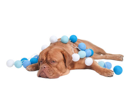 dogue: Dogue de Bordeaux with white and blue Christmas Balls lying on the floor