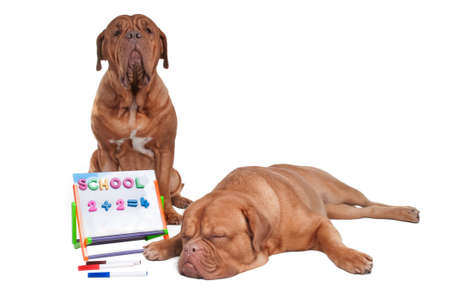 dog school: Two dogs doing math lessons