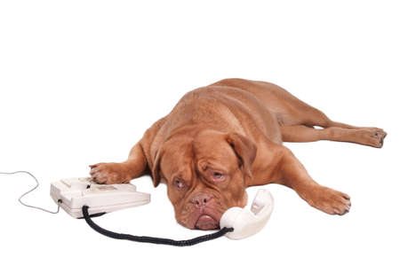 Dogue de bordeaux talking over the phone photo