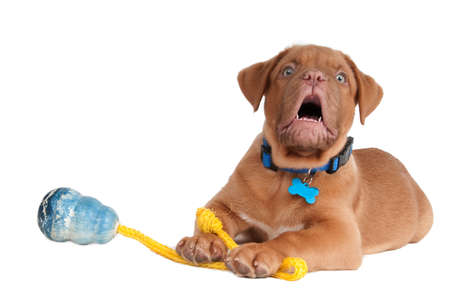 barking: Puppy playing with a toy on a rope and barking