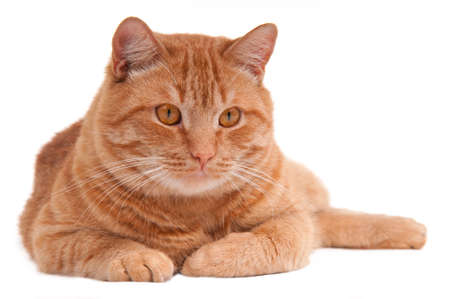 ingefära: Portrait of a serious ginger cat lying on the floor