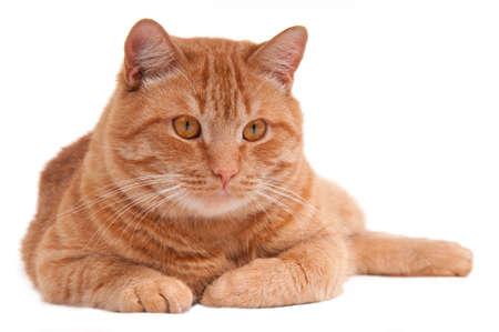 gato naranja: Retrato de un gato de jengibre grave acostado en el piso