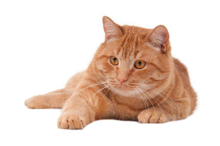 cat stretching: Playful cat with its paw stretching forward