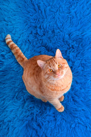 Cat on a blue carpet looking up photo