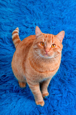 Attentive cat is sitting on  blue carpet photo