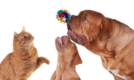 Cat Puppy and its mom playing with Christmas decoration Stock Photo - 8415432