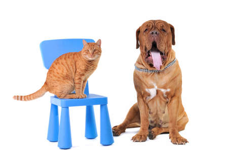 Yellow Cate and a Huge Dogue De Bordeaux photo
