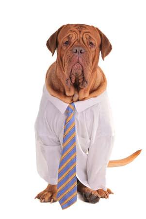 perros vestidos: Perro inteligente disfrazado de empresario