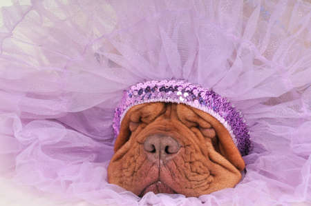 Chief Indian Dog Sleeping Sweetly photo