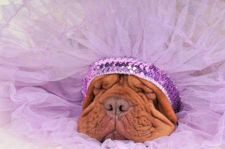 sweetly: Chief Indian Dog Sleeping Sweetly