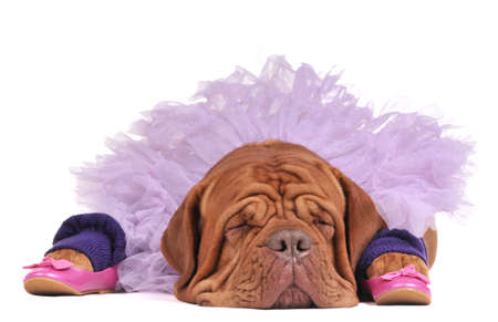 wearing sandals: Dog dressed as a balerine