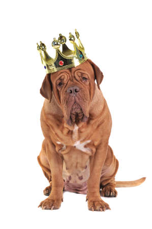 reign: Serious Dog wearing Kings Crown
