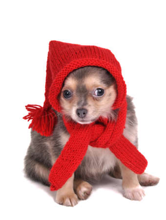 Cute Puppy Dressed in Red for Christmas photo