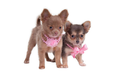 Two beautiful chihuahua puppies with pink necklace photo
