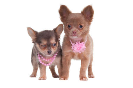 Two cute chihuahua puppies posing next to one another photo