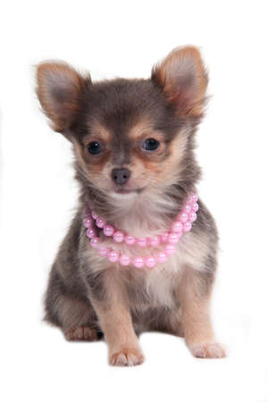 Chihuahua puppy with pink necklace photo