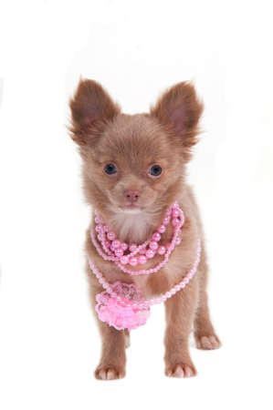 Chihhuahua puppy with pink necklace photo