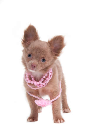 Chihhuahua puppy with pink necklace and flower photo
