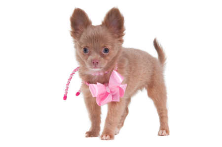 lady Chihuahua dog with a pink ribbon on its neck photo