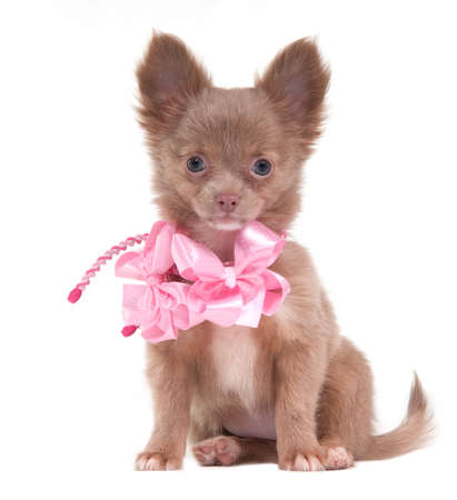 Portrait of a sitting Chihuahua puppy with pink ribbons on its neck photo
